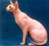Baldcat